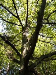 oak tree in the summer
