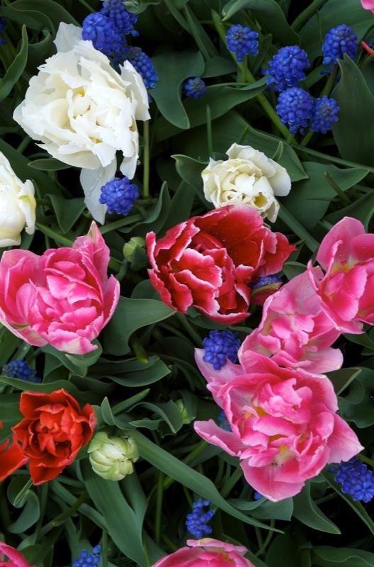 Tulipsss.jpg