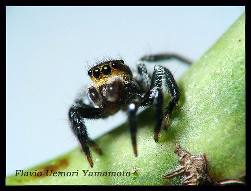 Salticidae - Corythalia sp.
