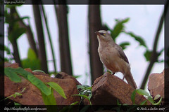 LargeGreyBabbler