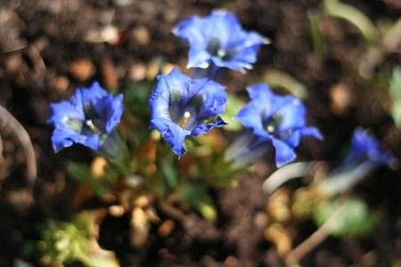 Alpenenzian (Gentiana Acaulis)