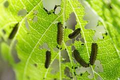 Viburnum Leaf Beetle Larva Closeup
