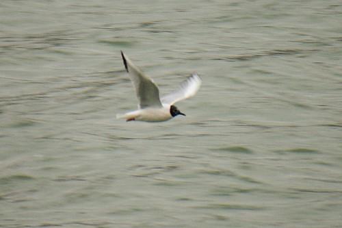 Bonapartes Gull in Flight