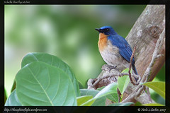TickellsBlueFlycatcher
