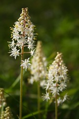 Foamflowers