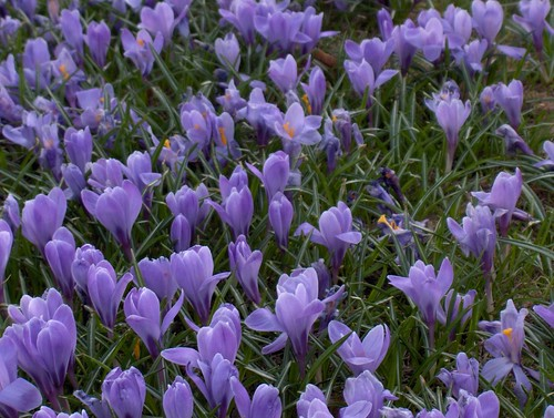 Field of Blue Crocus