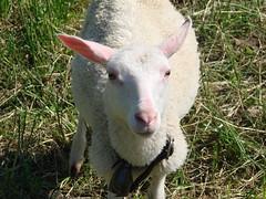 Joli mouton