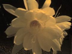 Flor de la Luna 5