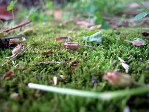 Backyard moss, 2
