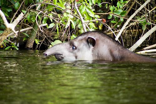 Tapir nadando
