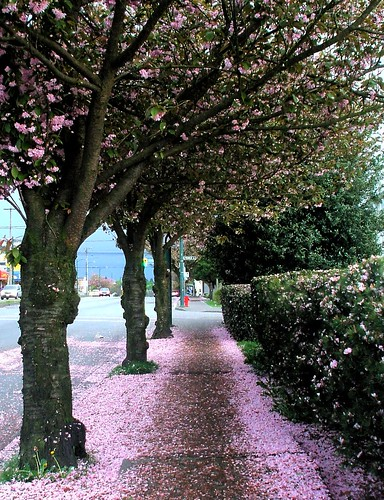 blossoms ending on nanaimo street 2