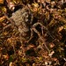 Female Wolf spider Pardosa amentata