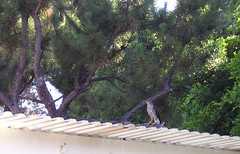 Hawk on a Hot Patio Roof