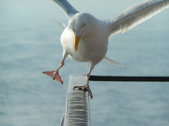 The mythical seagull out of balance