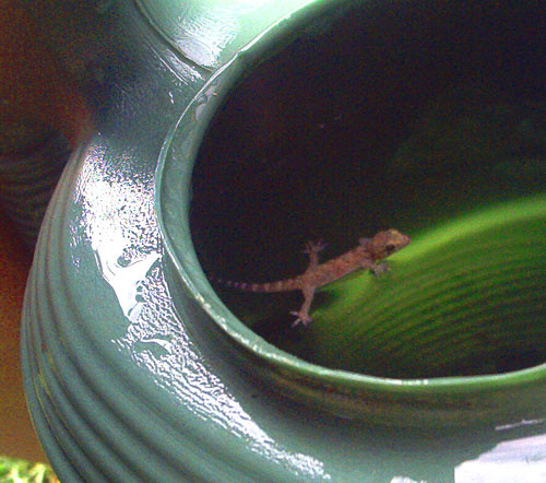 gecko by chancew1