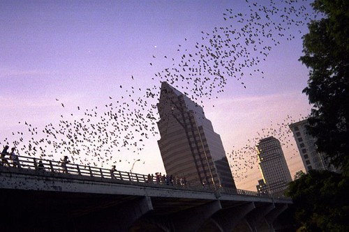 Bats Flying Over Austin, Tx