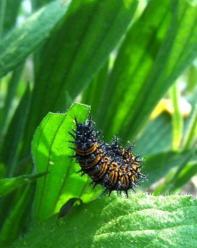checkerspot caterpillar 2