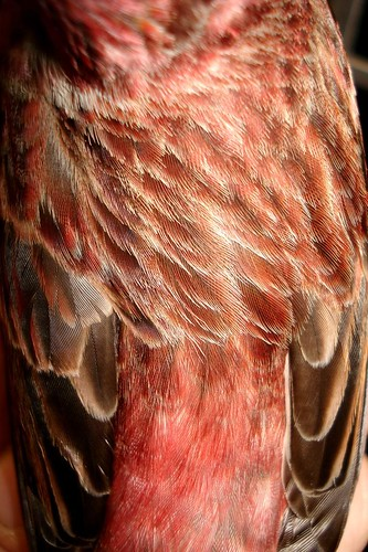 The Back of the Purple Finch