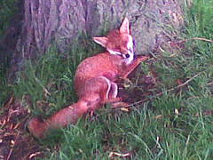 Richmond Park wounded fox