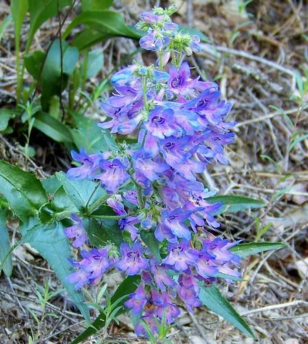 Mountain Bluebells, (Mertensia ciliata)