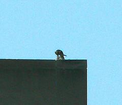 Max gets a juvenile gull