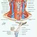 larynx05