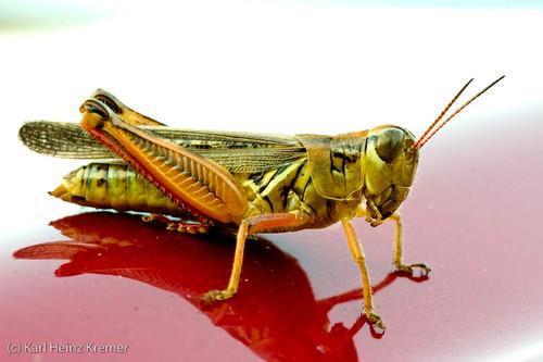 Grasshopper on Car