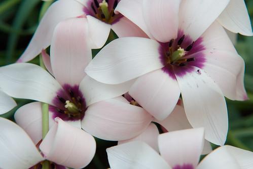 Tulipanes púrpuras y blancos preciosos
