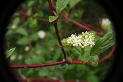Red Osier Dogwood