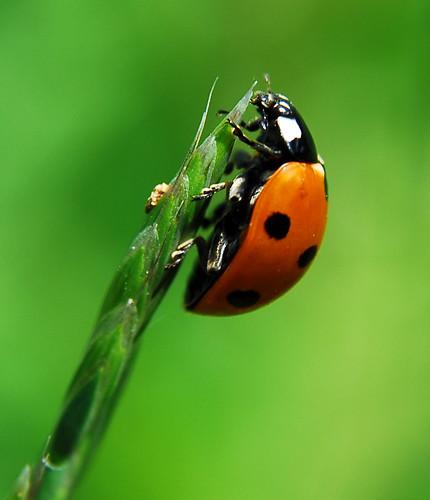 Ladybug by Scott*, on Flickr