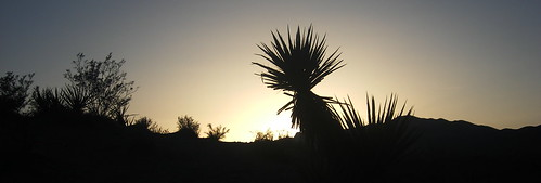 Torrey Yucca Silhouette