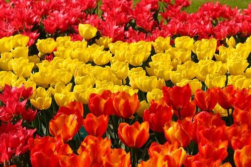 Tulipanes con la bandera española