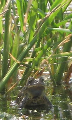 Male Toad Calling a Mate #4