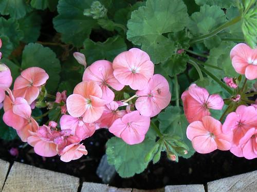 My birthday geraniums are thriving