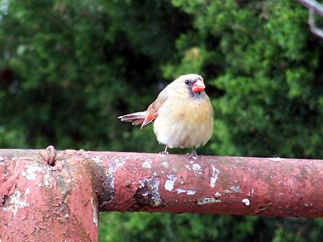 Girl Cardinal 2