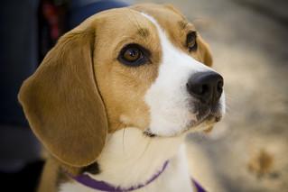 Camry the beagle