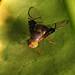 Small Fruitfly