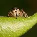 Jumping Spider Salticus scenicus
