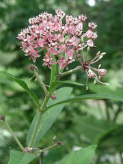 Swamp milkweed. Flickr photo by Anita Gould. Click for original.