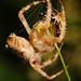 Common garden web spider (Araneus diadematus) tying itself in knots?