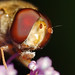 Hoverfly showing tongue Episyrphus balteatus