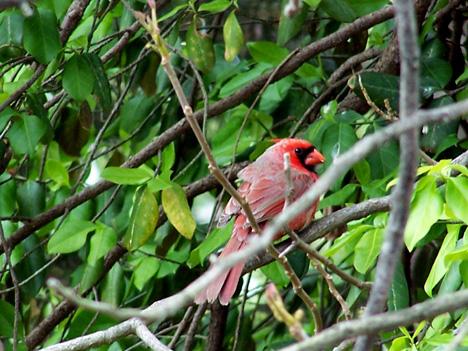 Boy Cardinal 1