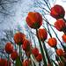 Tulipán Grandes Historias
