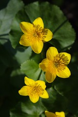 Marsh Marigolds in the Afternoon Sun