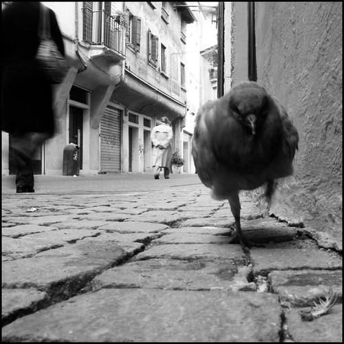 piccione incazzato