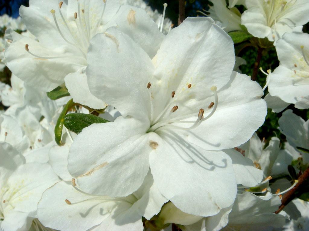 White Rhododendron, Two
