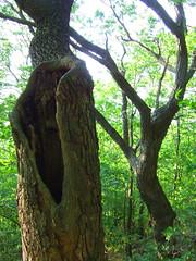 old chestnut oaks