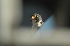 Messy Beak (P. Kendall)