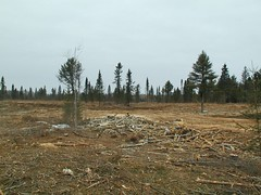 MN clearcut site with biomass chipped & removed. Click for a better view.
