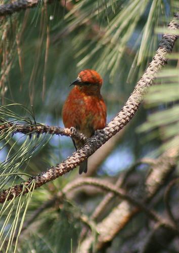 male redcrossbill